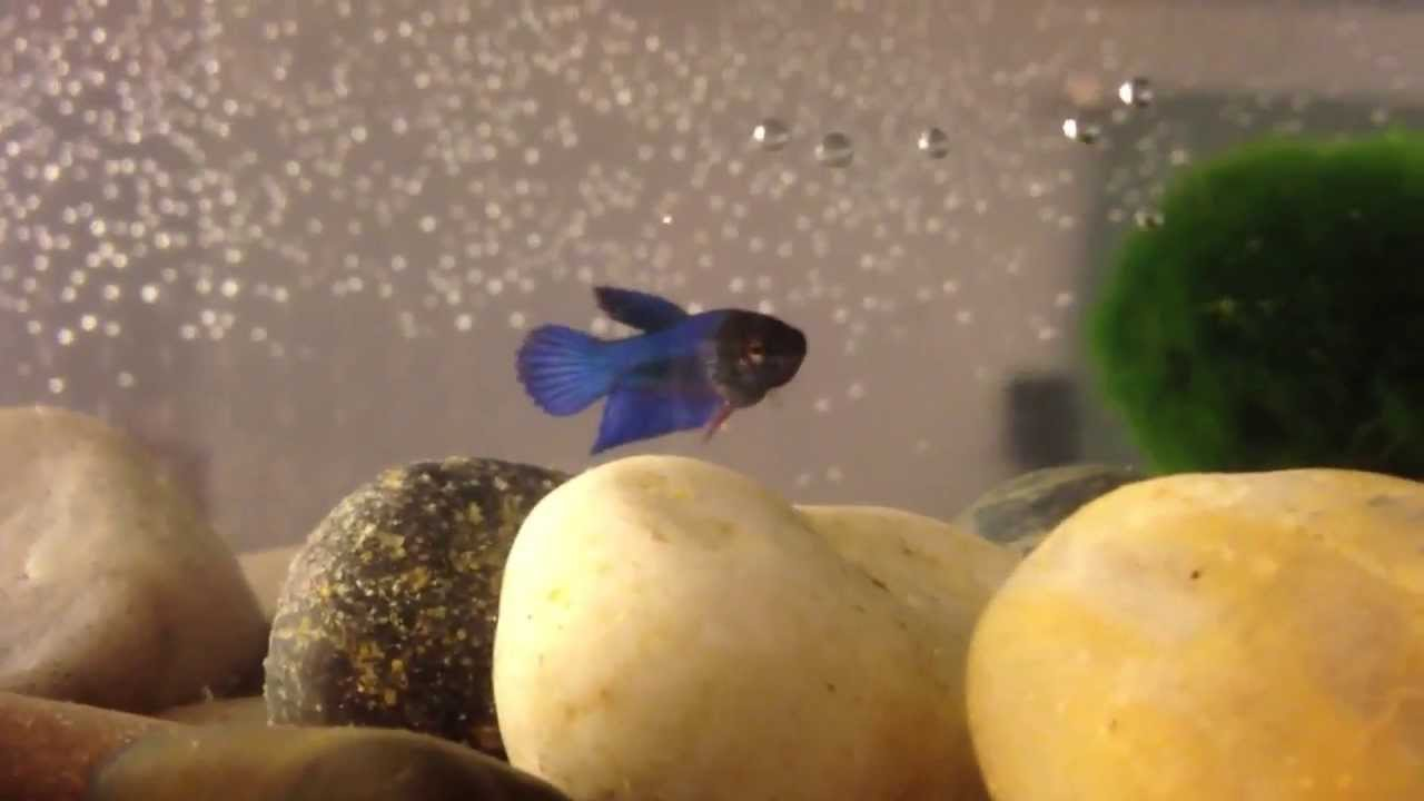 Name my baby betta fish youtube for Baby koi food