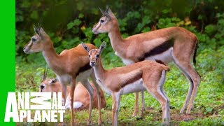 This Young Gazelle Is Healthy And Ready To Join The Herd!   The Zoo