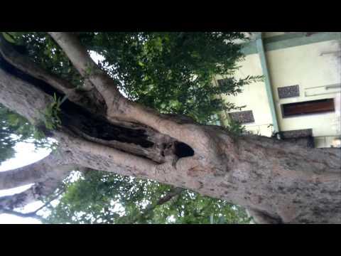 goolar tree 150 years old