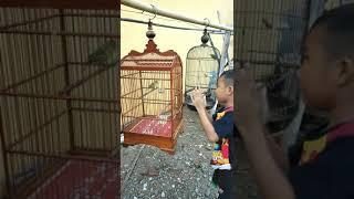 Gambar cover Burung sirtu,cipow gacor mental baja , Doplang Purworejo Jawa Tengah