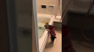 いつもお風呂に入りたがって仕方がないアンですが、お風呂に入れたゆず...