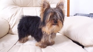 Yorkshire Terrier, Puppies, For, Sale, In, Charleston, South Carolina, Sc, Cayce, Beaufort, Bluffton