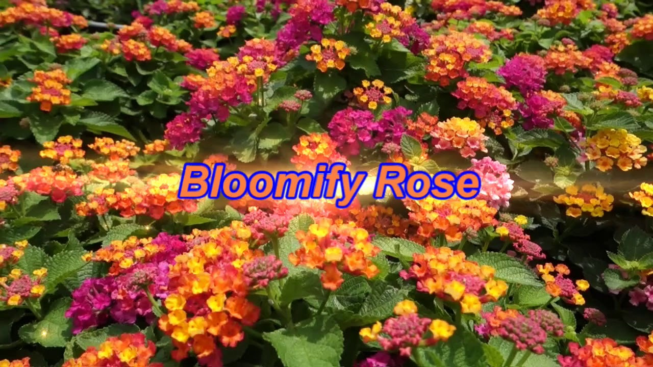 Lantana Bloomify Florida Friendly Plant Gardening Youtube