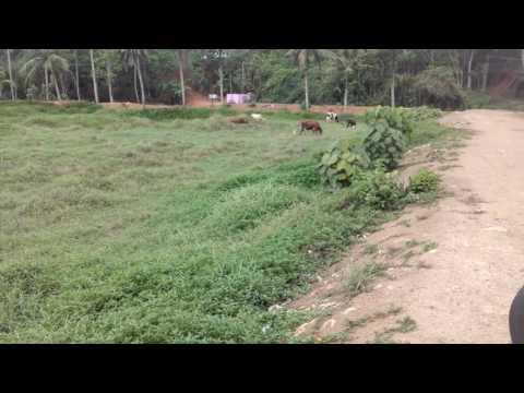 Cow n green feald