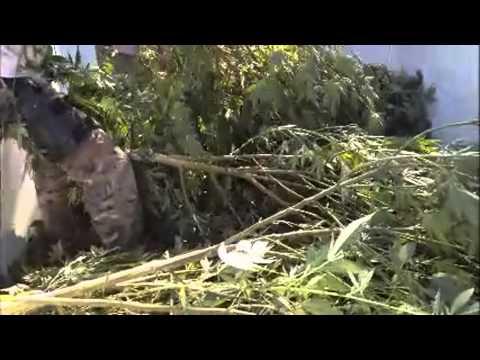 40-acre marijuana farm raided in Madera County