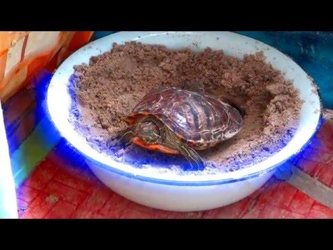 Вопрос: Когда черепахи откладывают яйца?