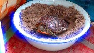 Красноухая черепаха trachemys scripta откладывает яйца