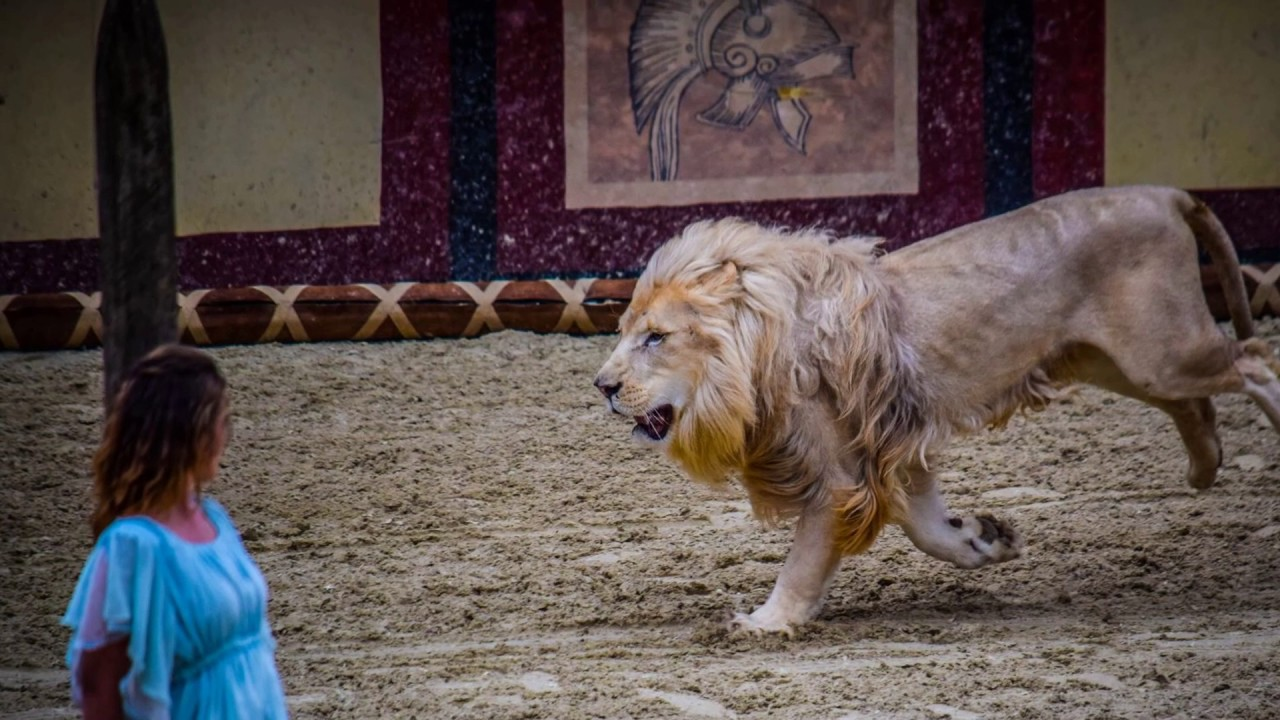 lion blanc du stadium puy du fou youtube
