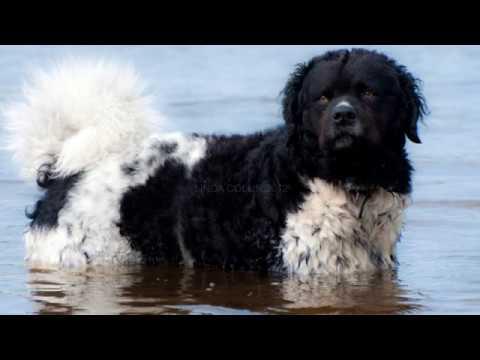 Wetterhoun - medium size dog breed