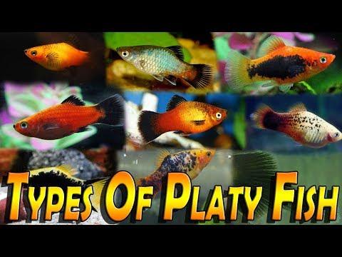 Types Of Platy Fish -Varieties Of Platy Fish (Xiphophorus)