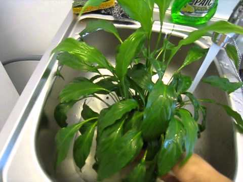 how to care for house plants peace lily watering house plants youtube. Black Bedroom Furniture Sets. Home Design Ideas