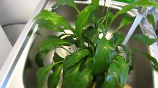 How To Care For House Plants (peace Lily)  : Watering House Plants