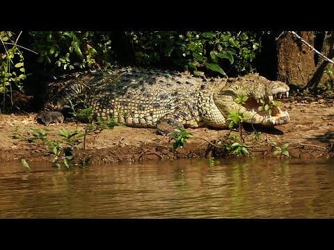 Giant Crocodile in Bhitarkanika, Odisha in eastern India.