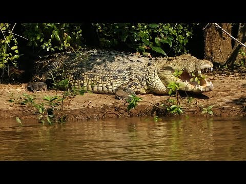Giant Crocodile in Bhitarkanika, Odisha in eastern India.