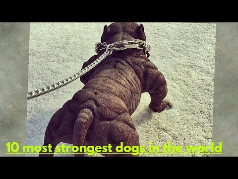 Top 10 Most strongest dogs in the world || pitbull || german Shepherd || mastiff || Top 10