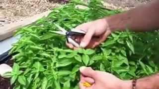 Gardening Tips: Pruning Basil