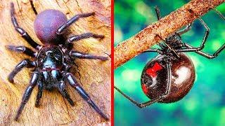 9 de las arañas más venenosas del mundo
