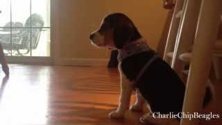 Pocket Beagle Puppy First Howl