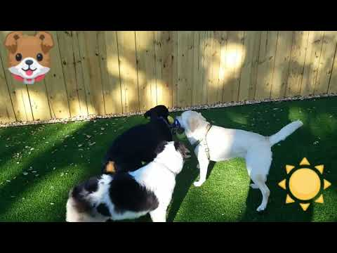 Dog Daycare - Tug of War @Barks & Recreation