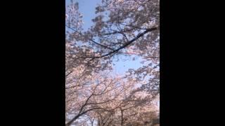 桜吹雪 出水飛行場跡 2014