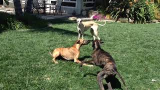 Sloughi Puppy Playtime