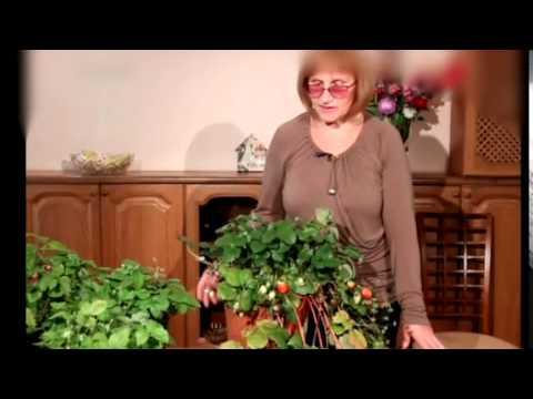 Клубника - посадка, болезни, полив, как выращивать - Клубника