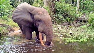 a good looking elephant without etiquette | un beau mâle éléphant sans savoir vivre