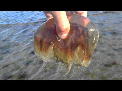 Catching Lion's Mane Jellyfish