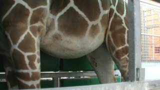 Pregnant Giraffe Trains for Sonogram