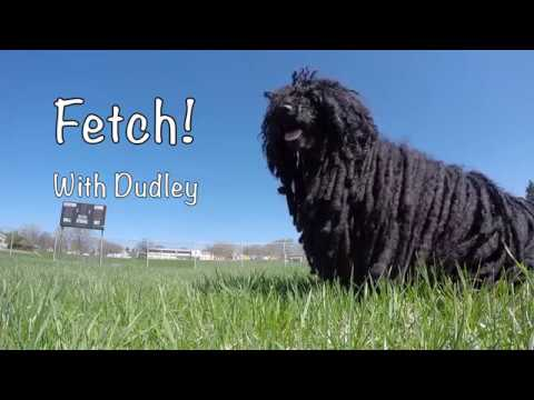 Hungarian Puli • Fetch with Dudley