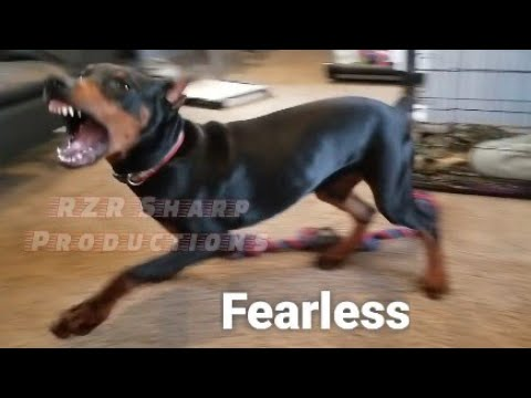 doberman-fears-nothing!