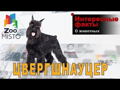 Цвергшнауцер - Интересные факты о породе  | Собака породы цвергшнауцер