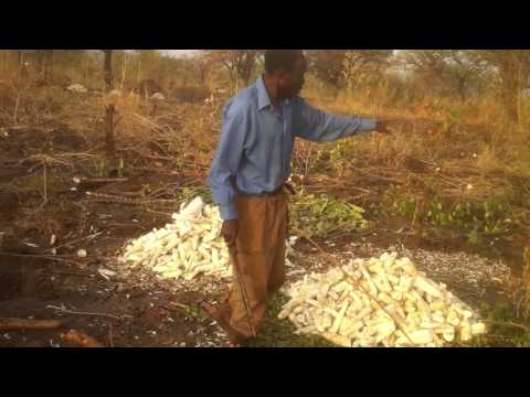 William Levi- in Beth Israel Farm land-Cassava plantation - March 2012
