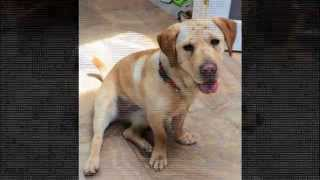 Lola - Shar-pei / Basset Hound Mix - Shar-pei Rescue Of Virginia