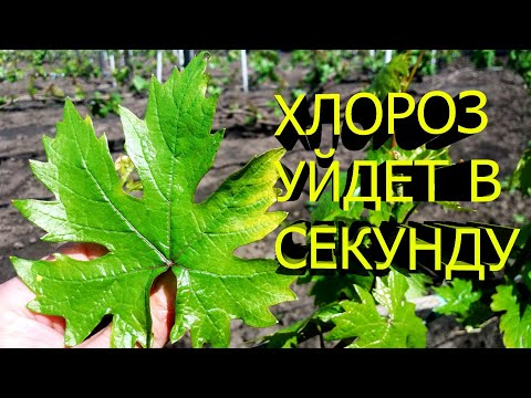 Болезни ВИНОГРАДА, ХЛОРОЗ и методы борьбы с ним, Виноградник Артура