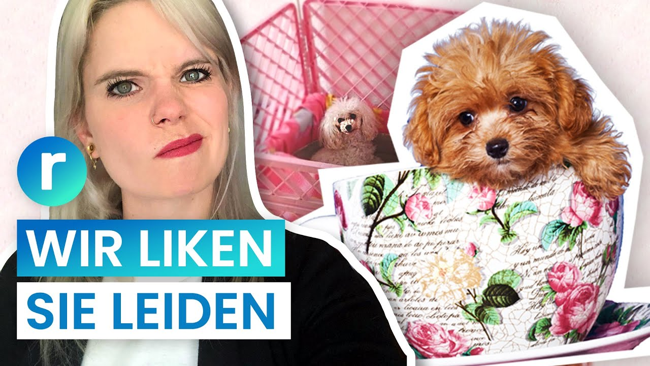 Teacup Puppies Nur Kranke Mode Hunde Reporter Youtube