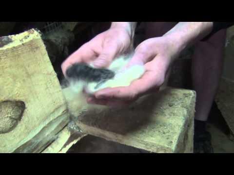 Видео: Как правильно производить кукушкование крольчат? Пересадка к другой кролематке