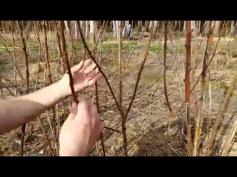 Как формировать штамбовую малину