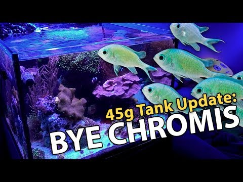 SELLING Chromis & Fiji Leather. NEW Corals. RE-Scaping (45g - 2/4/2018)