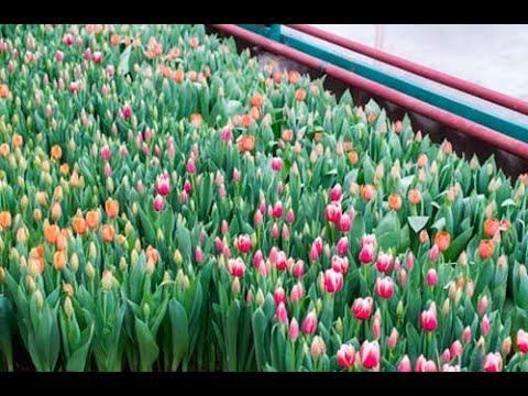 Выгонка тюльпанов к 14 февраля и 8 марта в январе 2020 Tulip Distillation 2020 Бизнес на тюльпанах