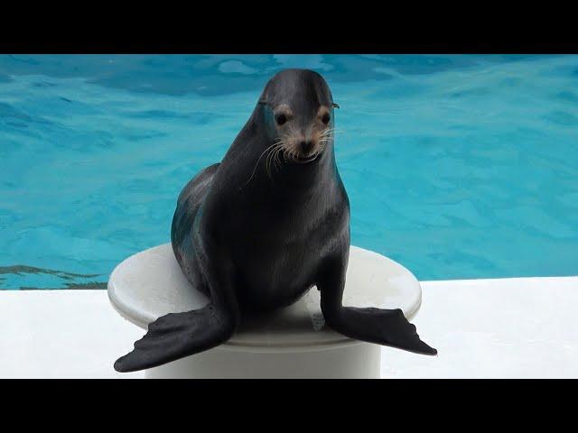 Sea Lion Show Kamogawa Sea World  【4K】