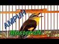 Masteran Mantenan Gunung Cocok Untuk Burung Pleci Bakalan  Mp3 - Mp4 Download