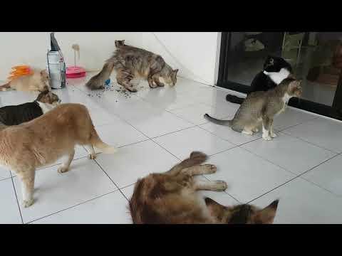 Merawat 20 Ekor Kucing Kampung Dirumah.