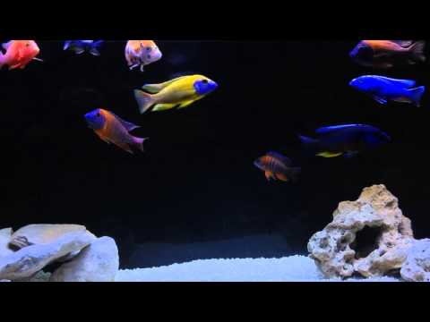 All male peacock cichlid tank
