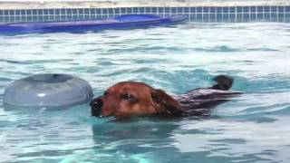 Pumpkin: The Diving Dachshund