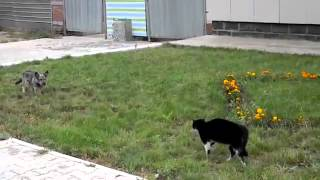 a great battle between a dog and a cat