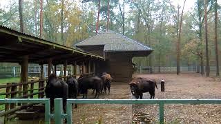Bialowieski Park Narodowy - Rezerwat Pokazowy Żubrów/ Bisontes de Polonia / Bisons in Poland
