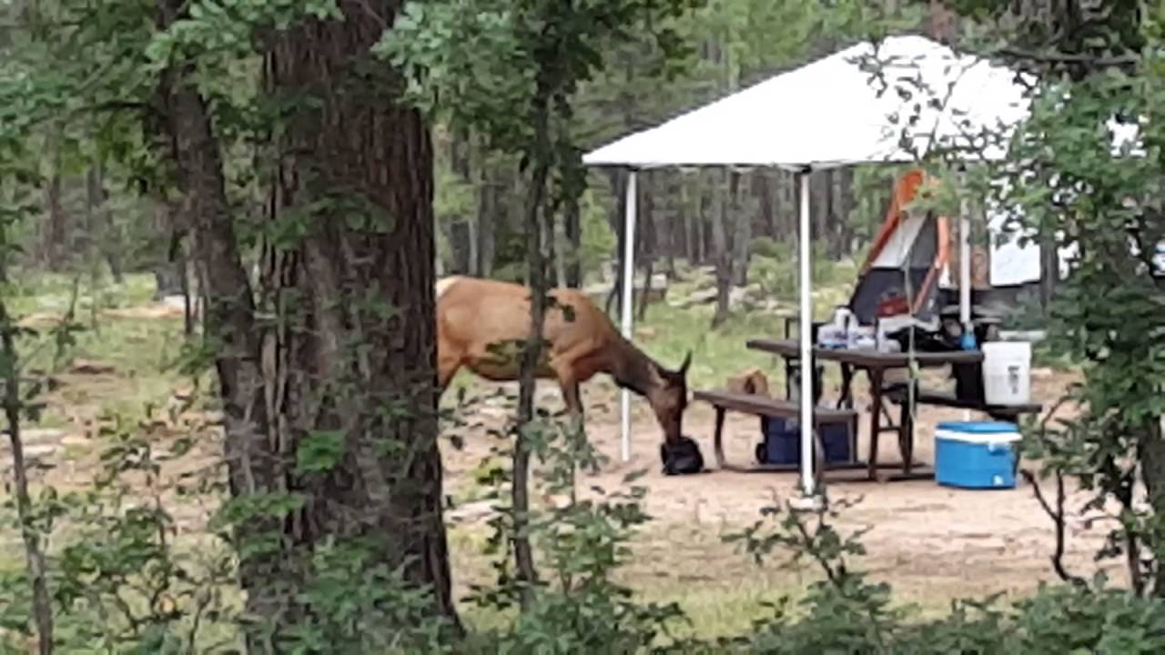 Elk raids campsite woods canyon lake youtube elk raids campsite woods canyon lake publicscrutiny Image collections