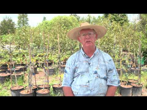 How to Grow Pecan Trees