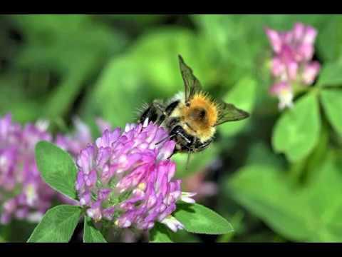 bruitage abeille